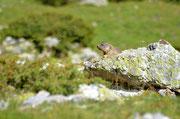 Marmotte (Pyrénées)