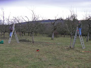 Obstbaumschnitt auf Vereinsobstwiese