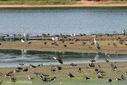 Au bord de l'étang : hérons gris, sternes, vanneaux huppés