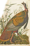 アメリカ土着の、野生の七面鳥。オーデュボン『アメリカの鳥類』(1827〜38年)より