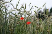 getreidefeld als Schutzort für Tiere Foto: Leo Wyden