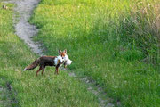Fuchs hat Huhn geschnappt Foto: Leo Wyden