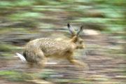Hase auf der Flucht Foto: Leo Wyden