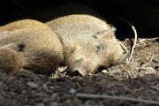 Wildschein schlafend Foto: Leo Wyden
