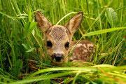 Rehkitz im Gras Foto: Leo Wyden