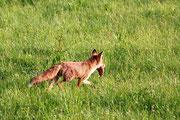 Fuchs mit Beute Foto: Leo Wyden