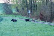 Wildschweine in der Hueb Foto: Leo Wyden