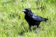 Krähe Foto: Leo Wyden