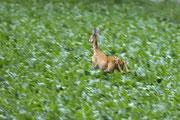 Rehgeiss auf der Flucht Foto: Leo Wyden