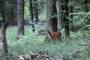 Schmalreh im Wald Foto: Leo Wyden