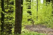 Reh geht in den Wald Foto: Leo Wyden