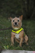 Auch für den Border-Terrier geht ein anstrengender Tag zu Ende