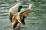 Stockente beim Abflug Foto: Leo Wyden