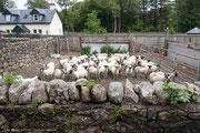 Herde Schafe im Gatter