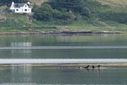 Robben und ein Seeadler auf einer Insel, die langsam in der Flut verschwindet.