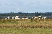 Die Wiesen im Naturreservat werden bis zum Seeufer von frei laufenden Rindern beweidet.