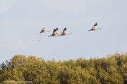 Am Abend fliegen auf den umliegenden Feldern Kraniche ein, um zu fressen.