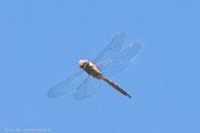 Libelle im Flug am Naturreservat Fyledalen.