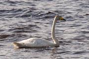 Ein Singschwan rastet auf dem See unweit des Beobachtungsturm.