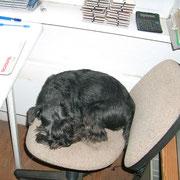 Ginger ist bei der Büroarbeit eingeschlafen.