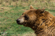Grizzly bear - Bearpark - South Dakota - 2016