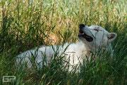 Arctic Wolf - Bearpark - South Dakota - 2016