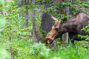 Moose - Rocky Mountain National Park - 2016