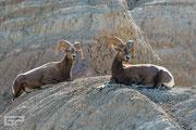 Bighorn Sheep - Badlands National Park - South Dakota - 2016