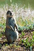 Praire Dog - Custer State Park - South Dakota - 2016