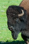 American Bison - Custer State Park - South Dakota - 2016