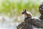 Golden-mantled ground squirrel - Bierstadt Lake - Rocky Mountain National Park - 2016