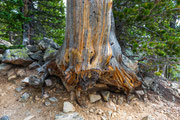 Old Tree - Rocky Mountain National Park -, Colorado - 2016