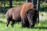 American Bison - Custer State Park - South Dakota - 2016n