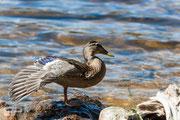 Duck - Bierstadt Lake - Rocky Mountain National Park - 2016