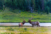 Elk - Rocky Mountain National Park - 2016