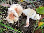 Lepiotra pseudohelveola - Rosastieliger Schirmpilz.Nicht häufig,nicht essbar.Die Pilze im Foto fand ich am Gartenzaun eines Obstgartens.