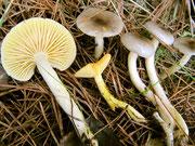 Hygrophorus hypothejus - Frostschneckling.Essbare Art,die im Herbst nach den ersten Nachtfrösten unter Kiefern erscheint,nicht selten.