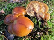 Flammulina velutipes - Samtfuß-Winterpilz,essbar,zerstreut.Im Spätherbst wachsend und oft noch im Frühjahr auffindbar,an verschiedenen Laubgehölzen.