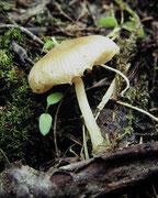 Pluteus exiguus - Kleinster Dachpilz.Sehr selten,auf stark morscher Rotbuche gefunden.