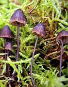 Mycena galopus var.nigra - Weißmilchender Schwarzhelmling.Dunkle Varität,seltener.