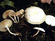 Clitocybe (=Ossicaulis) lignatilis - Holztrichterling.Auf stark morschen Laubholzstubben,selten,nicht essbar.