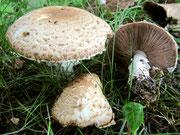 Agaricus augustus - Riesen-Champignon,essbar.Gern in Mischwäldern,auch außerhalb wachsend.Markanter Geruch nach Bittermandelöl.