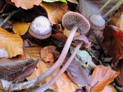 Mycena pura - Rettich-Helmling,giftig.In Laubwäldern,gern unter Buche,ortshäufig.