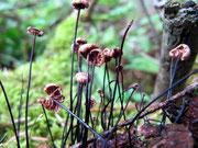 Setulipes androsaceus - Rosshaar-Schwindling,relativ häufig.Auf feuchten Ästen von Nadelholz.