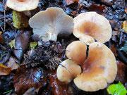 Lepista flaccida - Fuchsiger Röteltrichterling,giftverdächtig.Häufig in Laub-und Nadelwald,gern bei Kompost,auch in Gärten.