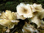 Omphalina epichysium - Holz-Nabeling.Seltene Art,gefunden auf einem liegenden Stamm von Rotbuche.