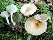 Clitocybe gibba - Ockerbrauner Trichterling.Essbare Art unter Laubbäumen,nicht selten.Der winzige Buckel in der Hutmitte ist nicht immer deutlich ausgebildet.