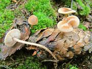 Baeospora myosura - Mäuseschwanz-(Rübling).Im Spätherbst auf faulenden Fichtenzapfen,nicht sehr häufig,essbar.