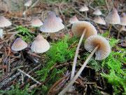 Mycena metata - Kegeliger oder Fleischbräunlicher Helmling.Bildet große Gruppen in herbstlichen Nadelwäldern,besonders unter Fichten.