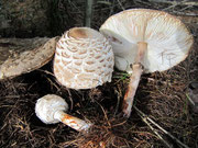 Macrolepiota rachodes - Rötender Schirmpilz,Safranschirmpilz.Häufig,essbar,im Fichtenwald oder bei Humus.Erkennbar am Röten des verletzten Pilzes.